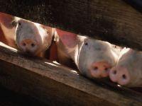 新一轮猪周期临近 猪肉价或超20元/公斤历史高点